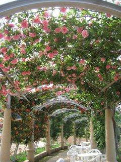 バラの回廊 満開だった薔薇