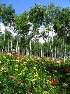 白樺ゆり園2