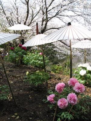 傘さしぼたんの情景