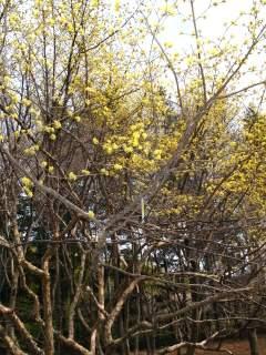 サンシュユの木