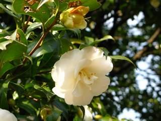 くちなしに似た白い椿の花