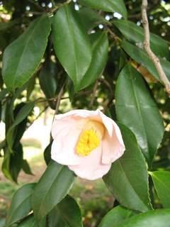 薄いピンクの椿の花