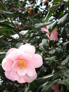 薄いピンクのはらりとした椿の花