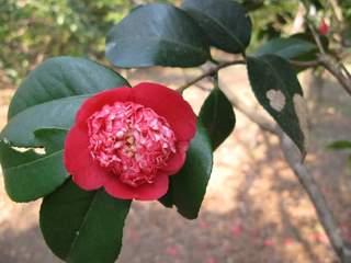 変わり品種の椿の花