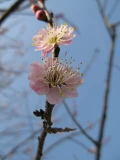 薄ピンク色の梅