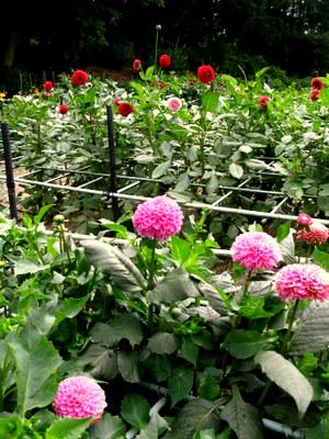 ダリアの花壇
