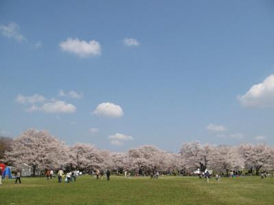 みんなのはらっぱから桜をみる