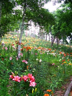 白樺ゆり園1