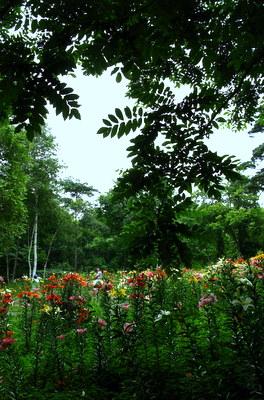 白樺ゆり園