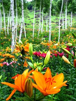 白樺ゆり園4