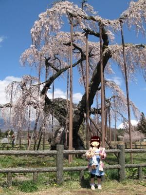 神田の大糸桜3