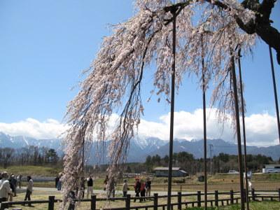 神田の大糸桜の枝垂れぶり