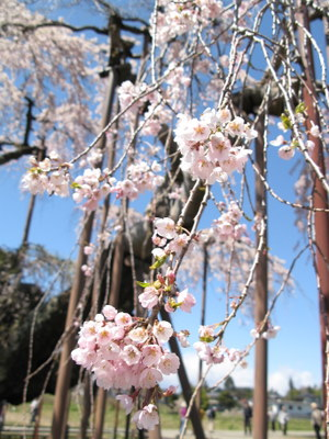 神田の大糸桜のアップ