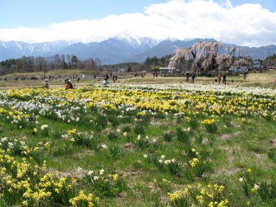 神田の大糸桜と水仙
