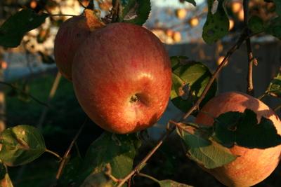りんご アップ