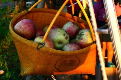 採れたりんご