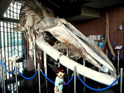 シロナガスクジラの骨格標本