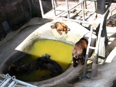 水につかる熊