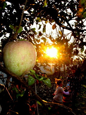 りんごのアップと夕陽