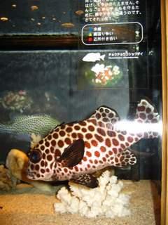 点々模様の魚