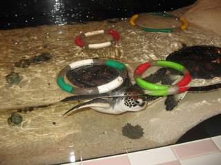 ウミガメ水槽2