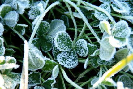 霜のついたクローバー