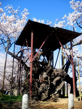 櫓のあった頃の神代桜