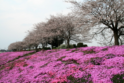 桜と芝桜 2