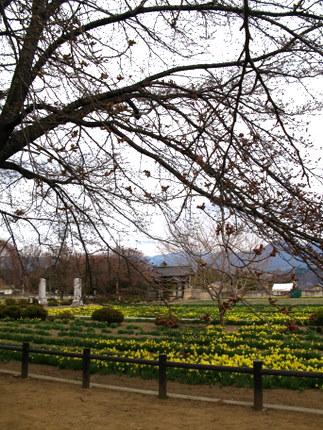 実相寺より見える水仙畑