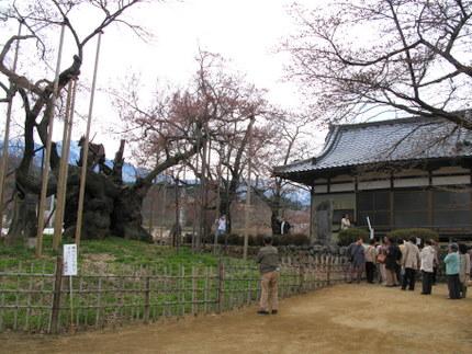 神代桜を観に来た人たち