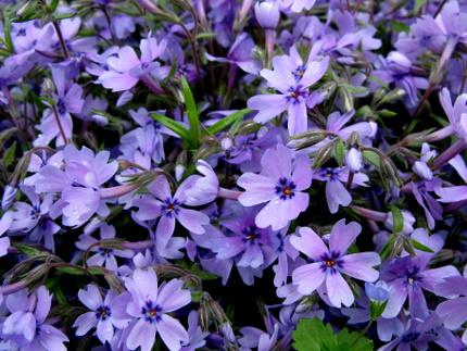 芝桜「オーキントンブルー」