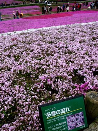 芝桜「多摩の流れ」