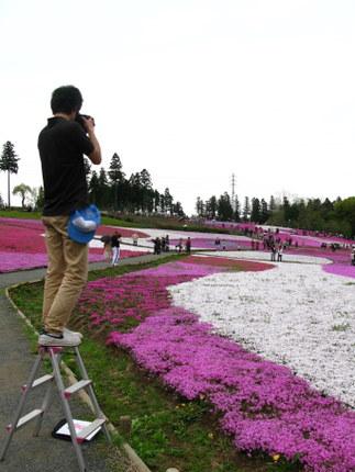 公的な写真撮影芝桜