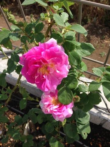 病害虫と闘う、バラたち