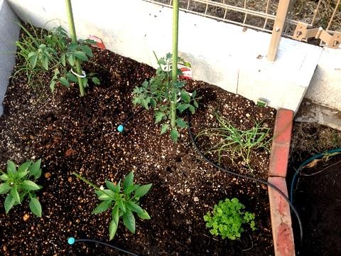 庭の収穫♪ミニトマト、ししとう